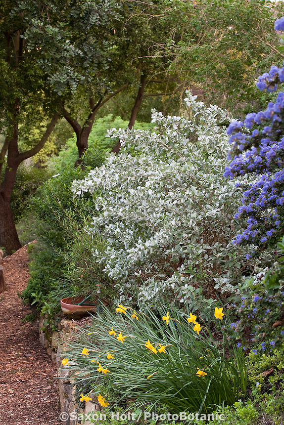Shrub border with Ceanothus and silver foliage native plant in drought tolerant Southern California spring garden on hillside with oaks, daffodils and mulched path