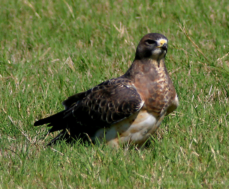 Swainson's hawk light adult in fall migration. This bird part of large flocks that stop here each year to eat grasshoppers in the fields.