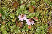 Cowberry - Vaccinium vitis-idaea<br /> subsp minus