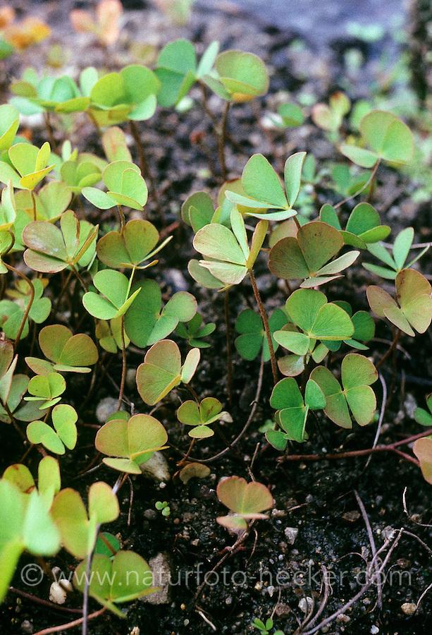 Vierblättriger Kleefarn, Marsilea quadrifolia, Pepperwort