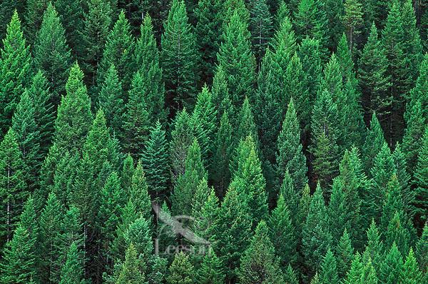 Rocky Mountain Douglas fir trees (Pseudotsuga menziesii). Kootenay National Park, British Columbia,<br />Canada.