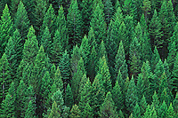 Rocky Mountain Douglas fir trees (Pseudotsuga menziesii). Kootenay National Park, British Columbia,<br />