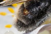 Sandbiene, beim Blütenbesuch an Buschwindröschen, Busch-Windröschen, Anemone nemorosa, Andrena spec., Mining-Bee, Small Sallow Mining Bee, burrowing bee, Sandbienen, mining bees, burrowing bees. mit Fächerflügler, Weibchen im Puparium, durchbricht die Haut zwischen zwei Hinterleibssegmenten, parasitiert auf einer Wildbiene, Parasit, Parasitismus, Stylops, stylopisiert, Stylopidae, Strepsiptera, Neoptera, twisted-wing parasites, female, Les strepsiptères