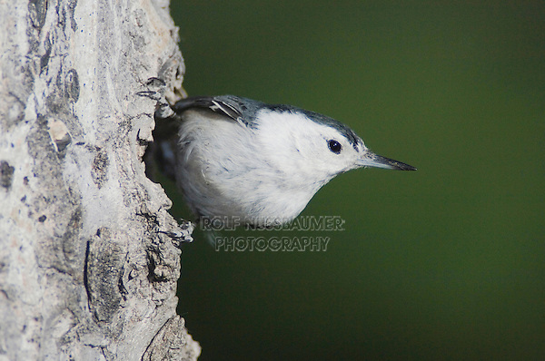 White-breasted Nuthatch, Sitta carolinensis,adult male on aspen tree, Rocky Mountain National Park, Colorado, USA, June 2007