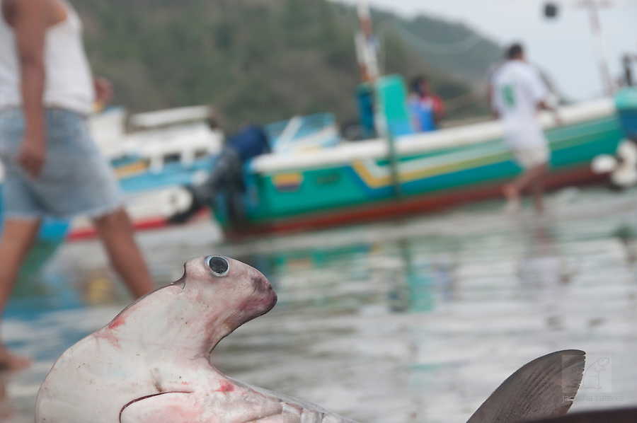 the eye of a hammerhead shark on the fish market of puerto lopez ecuador looks at us
