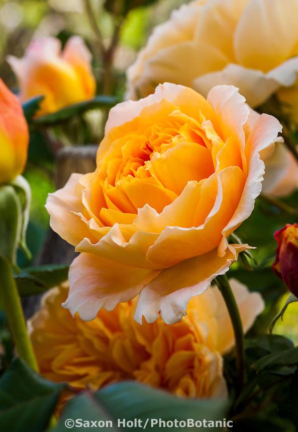 English Rose, Austin Rose (Rosa ) 'Crown Princess Margareta' Magowan Garden