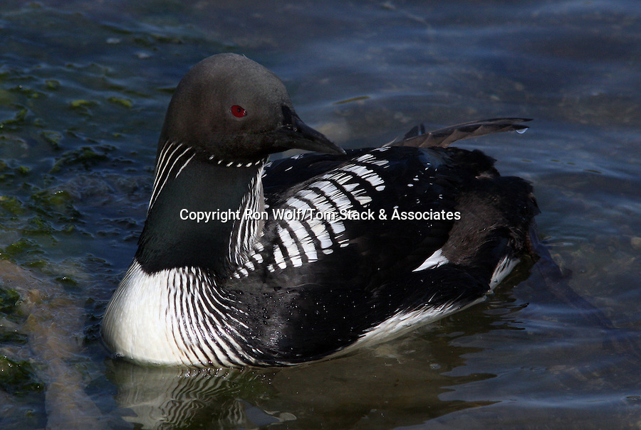 Pacific Loon (Gavia pacifica). Moss Landing State Beach. Moss Landing, Monterey Co., Calif.
