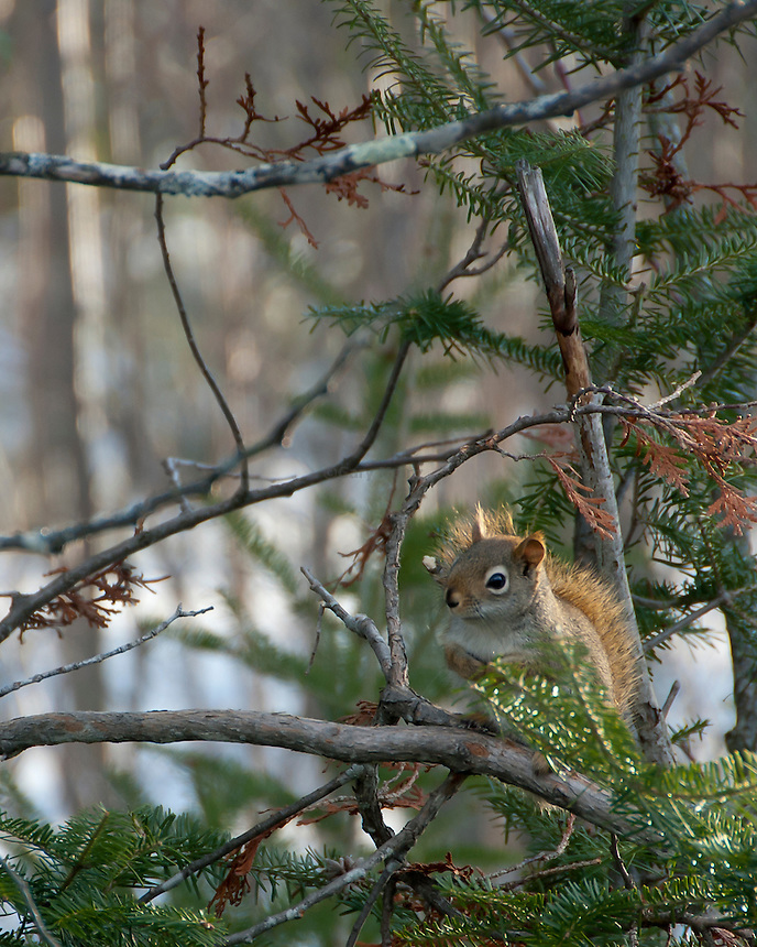 Red squirrel in pine tree.