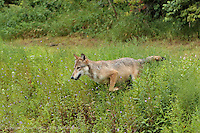 Gray Wolf running, Canis lupus<br /> (Controlled Situation)<br /> Minnesota
