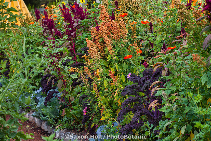 quinoa (Chenopodium quinoa) in organic mixed vegetable garden with herbs and flowers