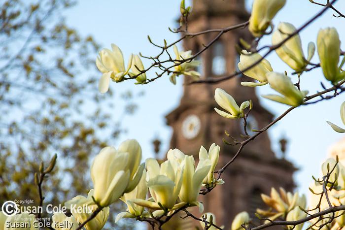 Magnolias on Boylston Street  in Boston's Back Bay neighborhood, Boston, Massachusetts, USA