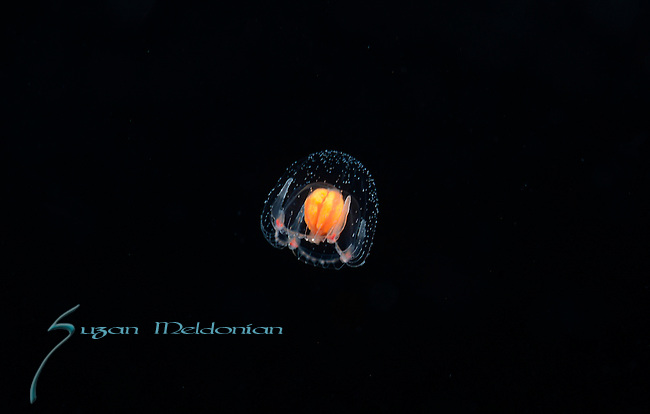 Jellyfish Thecocodium quadratum, ID by Shin Kobuta, Japan, Larval, plankton, Gulfstream Current