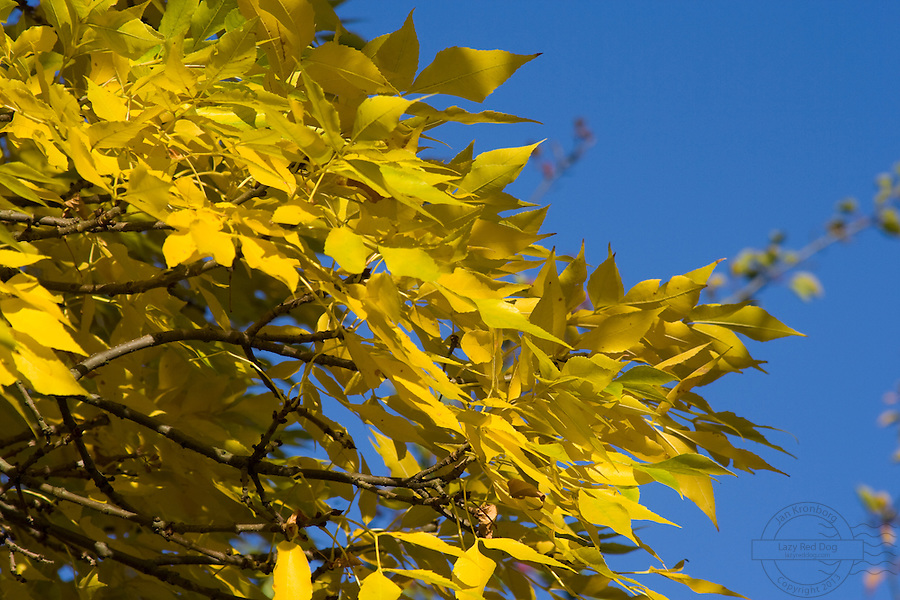 Yellow leafes against a blue sky.