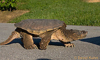 0611-0905  Snapping Turtle Crossing Paved Road, Chelydra serpentina  © David Kuhn/Dwight Kuhn Photography