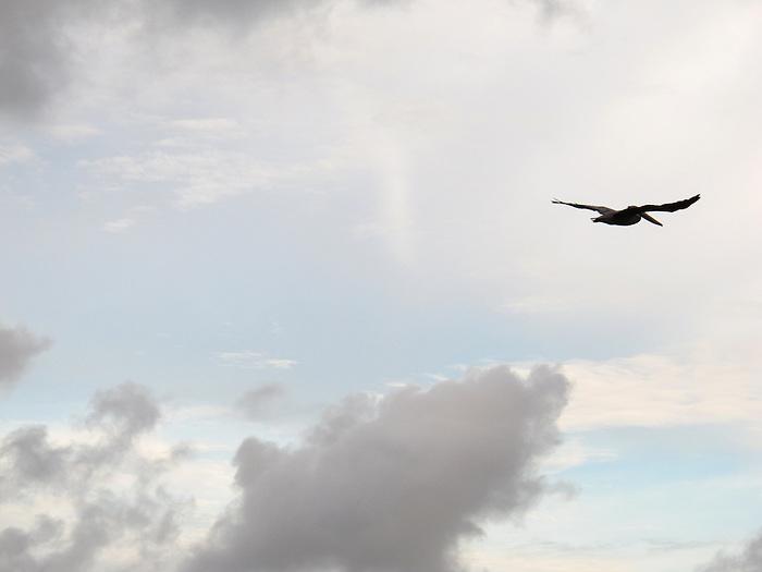 Pelícano / aves de Panamá.<br /> <br /> Pelican / birds of Panama.<br /> <br /> Edición de 3 | Víctor Santamaría.