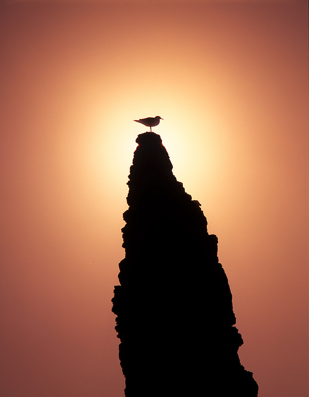 Seagull on sea stack rock with sunset. Bandon beach, Oregon.