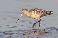 Marbled Godwit - Limosa fedoa - winter adult
