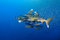 Oceanic whitetip shark (scientific name: Carcharhinus longimanus), fish swiminng around Daedalus Reef, Egypt, Red Sea. The shark swims with a school of pilot fish (scientific name: Naucrates ductor).