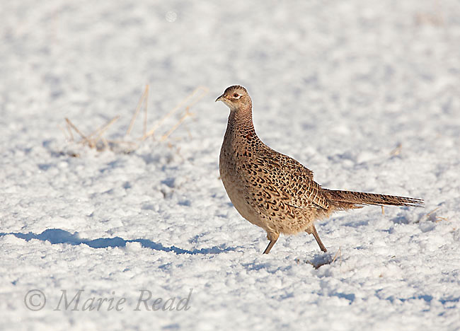 Ring-necked Pheasant (Phasianus colchicus) female walking on snow, New York, USA
