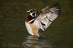 Wood Duck (Aix sponsa) male in breeding plumage, flapping its wings, Orange County CA.<br /> AGPix_Read_0202