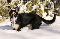 Australian Cattle dog mix puppy playing in her first snow and licking snow of nose