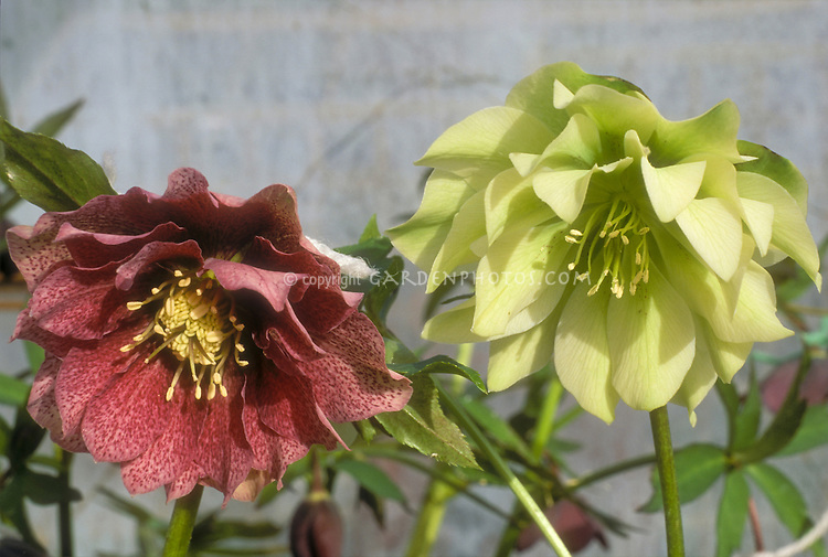 Helleborus hybridus Gunther Jurgl (pink), & Helleborus hybridus Snow Queen frilly double flowered types, 2 different colors mix of red pink and yellow cream