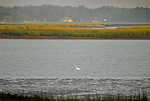 A White egret searches for food in the salt water marshes at the Pinckney Wildlife Refuge in Hilton Head, SC.