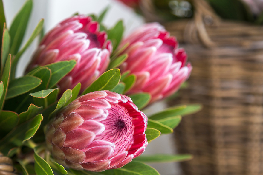 The king Protea flower (one of the largest ) is the national  flower of South Africa.