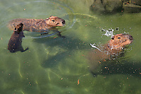 Capybaras (Hydrochoerus hydrochaeris) with young in the water in the zone Guyane of the new Parc Zoologique de Paris or Zoo de Vincennes, (Zoological Gardens of Paris or Vincennes Zoo), which reopened April 2014, part of the Musee National d'Histoire Naturelle (National Museum of Natural History), 12th arrondissement, Paris, France. Picture by Manuel Cohen