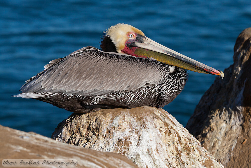 This California brown pelican (Pelecanus occidentalis californicus) is photographed sitting on a peaked rock in front of the ocean. The third eyelid of the pelican (palpebra tertia or nictitating membrane) is in the middle of a blink, half-covering the eye.