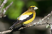 Evening Grosbeak perched on a branch