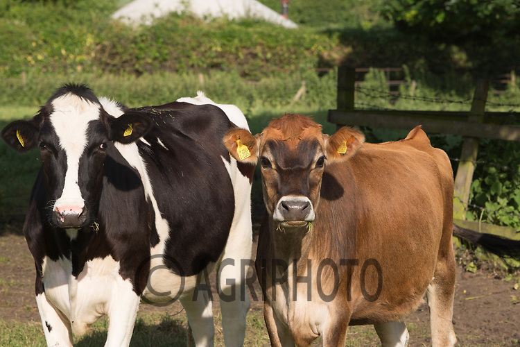 Dairy heifers out at grass<br /> &copy;Tim Scrivener Photographer 07850 303986<br /> ....Covering Agriculture In The UK....