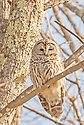A Barred Owl focuses it's attention on me, while I focus my lens on it.