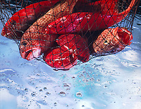 Landsacape low angle of Red snapper in a fishing net over water