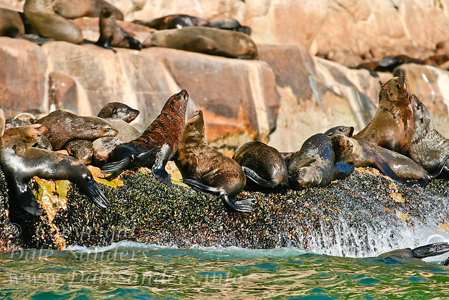 Cape Fur Seal or Brown fur Seal ( Arctocephalus pusillus ) at Plattenburg Bay, along the Garden route of South Africa.