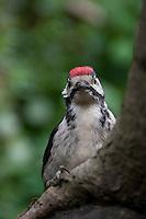 Großer Bunt-Specht, Jungvogel an morschem Baumstamm, Dendrocopus major, Great Spotted Woodpecker, Pic épeiche