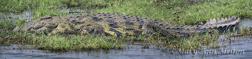 Nile Crocodile,Crocodylus niloticus, on the Chobe River
