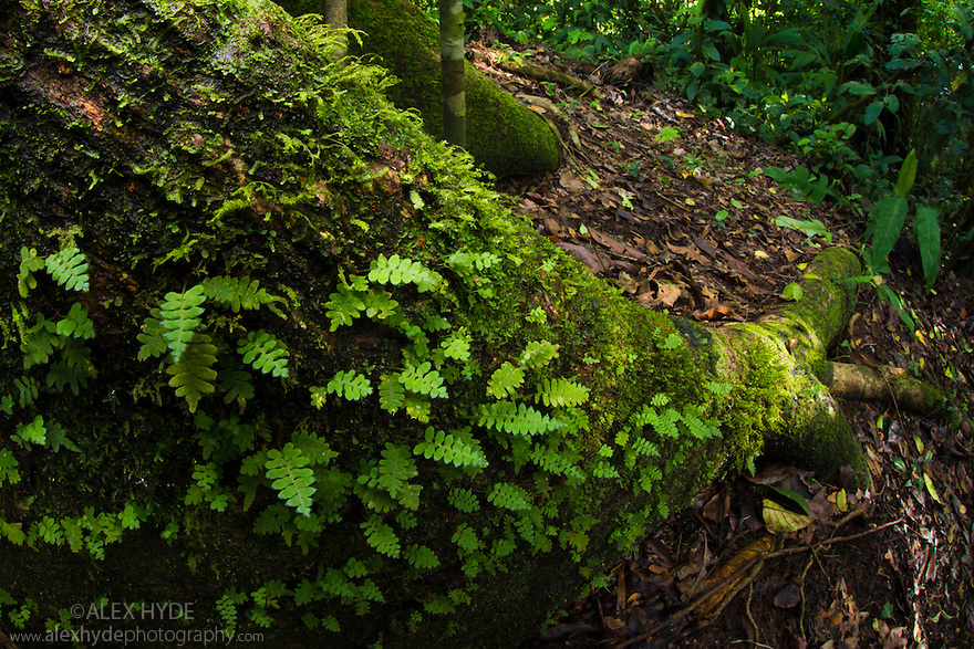 Ferns growing along a Kapok tree root {Ceiba pentandra}, Osa Peninsula, Costa Rica. May.