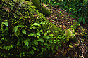 Ferns growing along a Kapok tree root {Ceiba pentandra}, Osa Peninsula, Costa Rica. May.