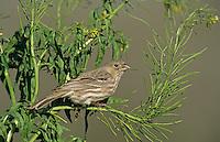 House Finch, Carpodacus mexicanus, female eating seeds of Mustard (Brassicaceae) , Lake Corpus Christi, Texas, USA, April 2003