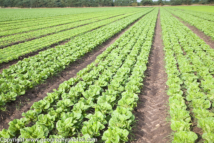 Lettuce crop growing in field near Hollesley, Suffolk, England
