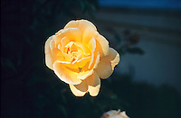 ROSES (ROSACEAE FAMILY)<br /> Yellow Rose (Rosa Sp.)