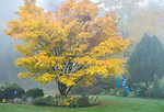 Vashon Island, Washington: Yellow leafed Japanese maple tree in fog; Froggsong Gardens