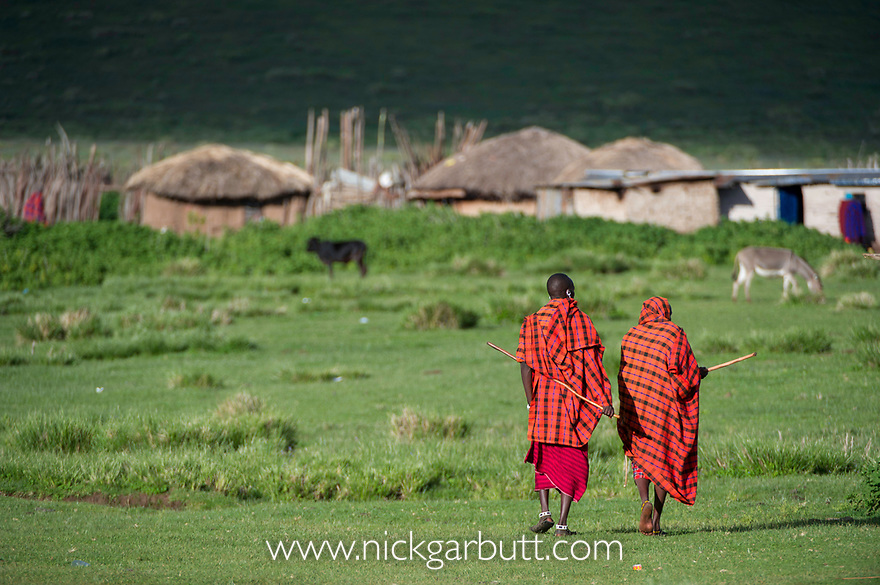 Masai herdsman walking back to their village / boma. Ngorongoro highlands. Ngorongoro Conservation Area, Tanzania.