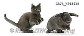 Kim, ANIMALS, REALISTISCHE TIERE, ANIMALES REALISTICOS, fondless, photos,+Russian Blue kitten chasing blue Lop rabbit,++++,GBJBWP42519,#a#