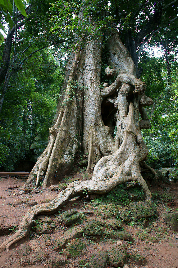 vivid complex of roots at a tree close to Baphuon temple , Angkor Wat, Cambodia, August 2011
