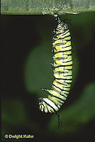 MO06-009z  Monarch Butterfly - caterpillar hanging, preparing to molt and form chrysalis - Danaus plexippus