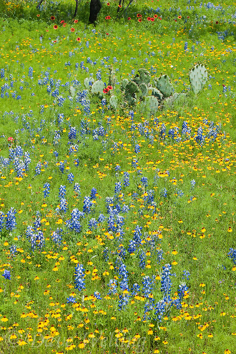 797050057 texas bluebonnets lupinus texensis coreopsis coreopsis basilas and blanketflowers gaillardia pulchella bloom in a field with opuntia succulent plants in llano county texas