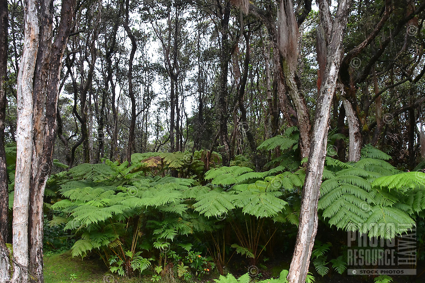 This Hawaiian rainforest with hapu'u fern and 'ohi'a lehua trees stands at a 4,000-ft. elevation in Volcano, on the island of Hawai'i.