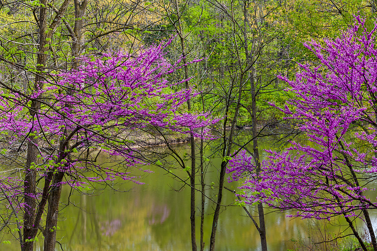 Morning light on Redbud trees in bloom and spring green in early spring on Sterling Pond at The Morton Arboretum; Lisle, IL